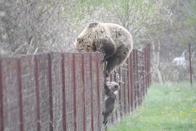 Καστοριά: Αρκούδα πιάστηκε να… κλέβει κεράσια μαζί με το μικρό της!